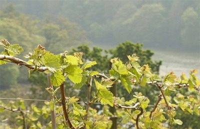 Sharpham Vineyard